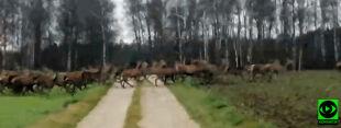 """Chmara jeleni przebiegła przez drogę. """"Na taką grupę jeszcze nie trafiłem"""""""