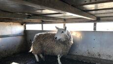 Jedna z uratowanych owiec (RSPCA)
