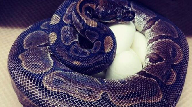 62-letnia samica pytona złożyła jaja. Od ponad 15 lat nie widziano jej w pobliżu samca
