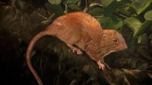 Szczur-gigant to nie legenda. Jest pięć razy większy od naszych gryzoni