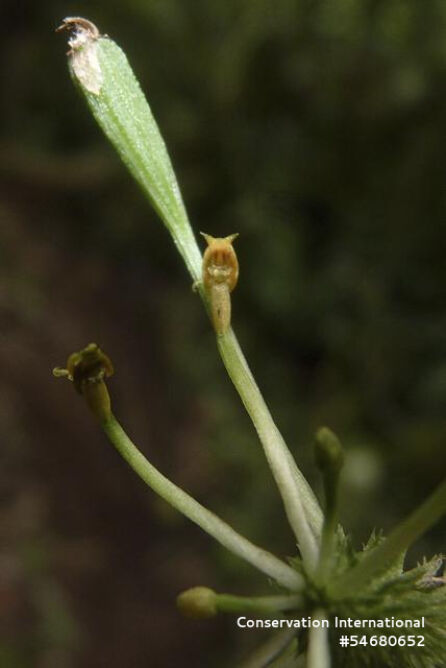 Orchidea Malaxis sp. nov. (Ivan Jimenez)